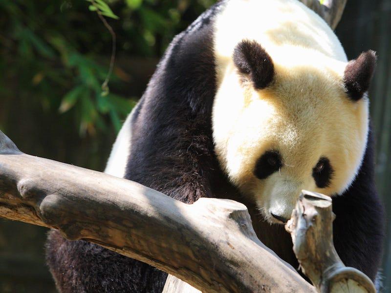 Un panda au zoo de San Diego. - Occuper ses enfants pendant le confinement